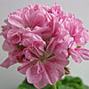 Double Pink Bird s Egg - Форум цветоводов Фрау Флора